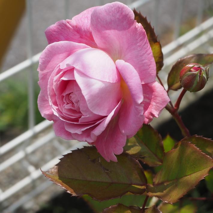 お店のバラたち②_a0292194_12572793.jpg