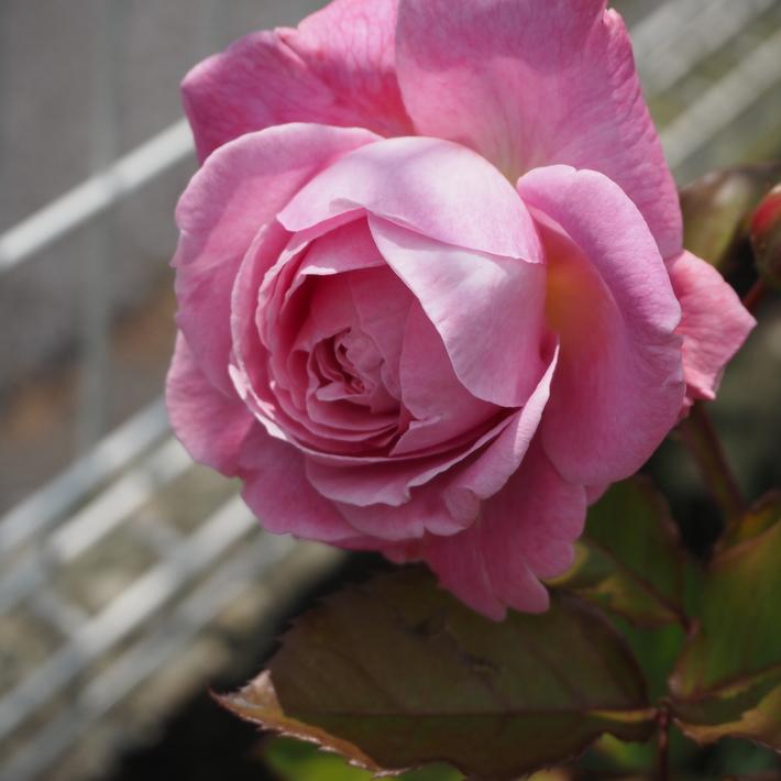 お店のバラたち②_a0292194_12574945.jpg