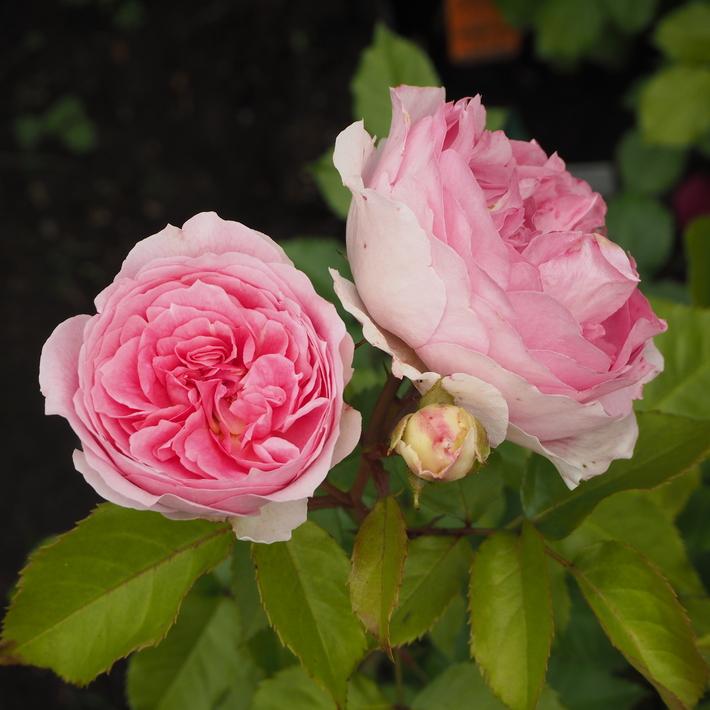 お店のバラたち②_a0292194_1303267.jpg