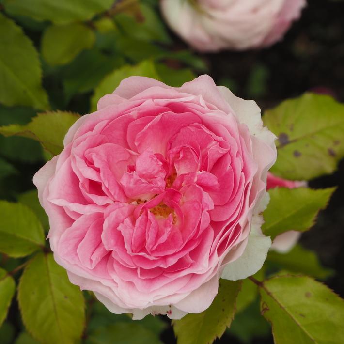 お店のバラたち②_a0292194_1304851.jpg