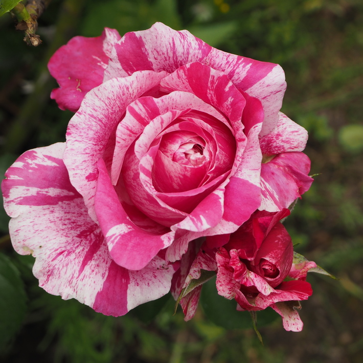お店のバラたち②_a0292194_1361221.jpg