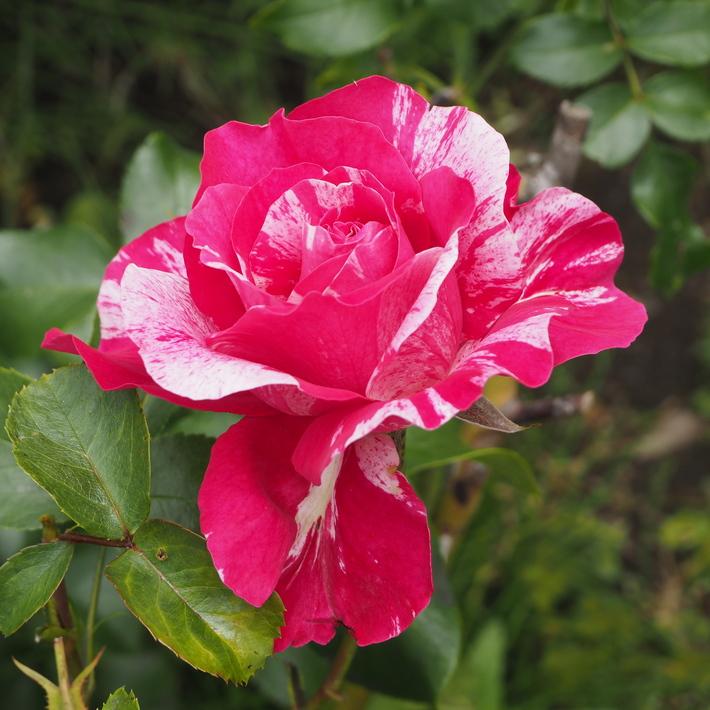 お店のバラたち②_a0292194_1363460.jpg