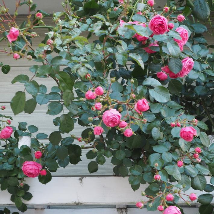 ポンポネッラも咲きました。_a0292194_15333277.jpg
