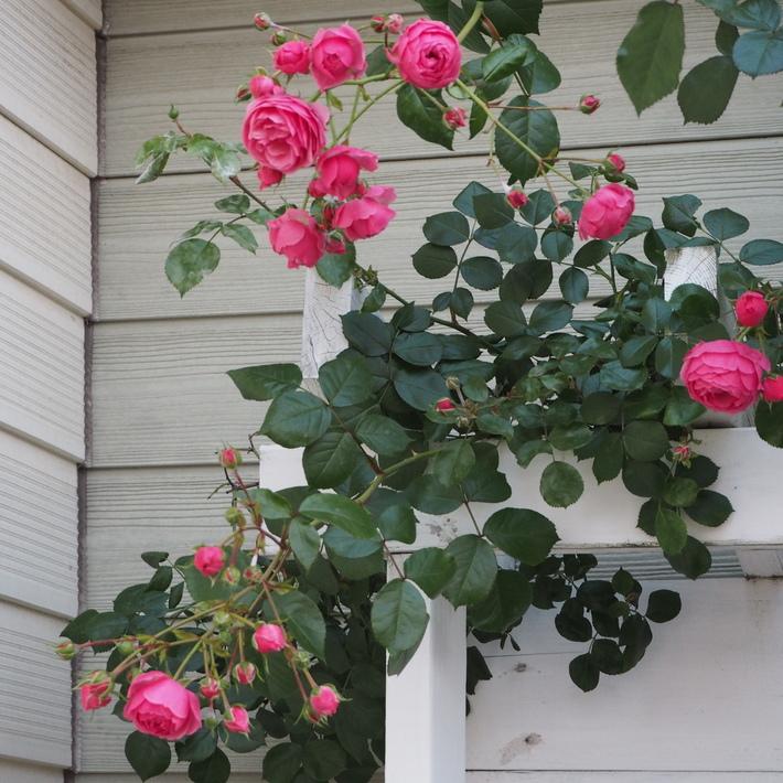 ポンポネッラも咲きました。_a0292194_15335477.jpg
