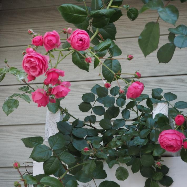 ポンポネッラも咲きました。_a0292194_15343363.jpg