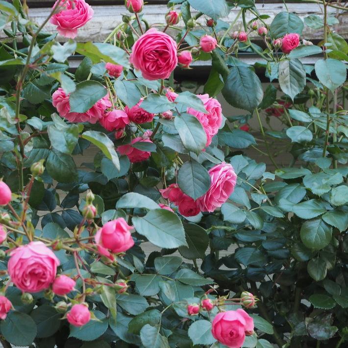 ポンポネッラも咲きました。_a0292194_15562479.jpg