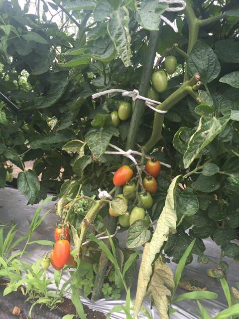 蚕豆&エンドウ豆畝跡は雑草の森化しました。_c0222448_12360187.jpg