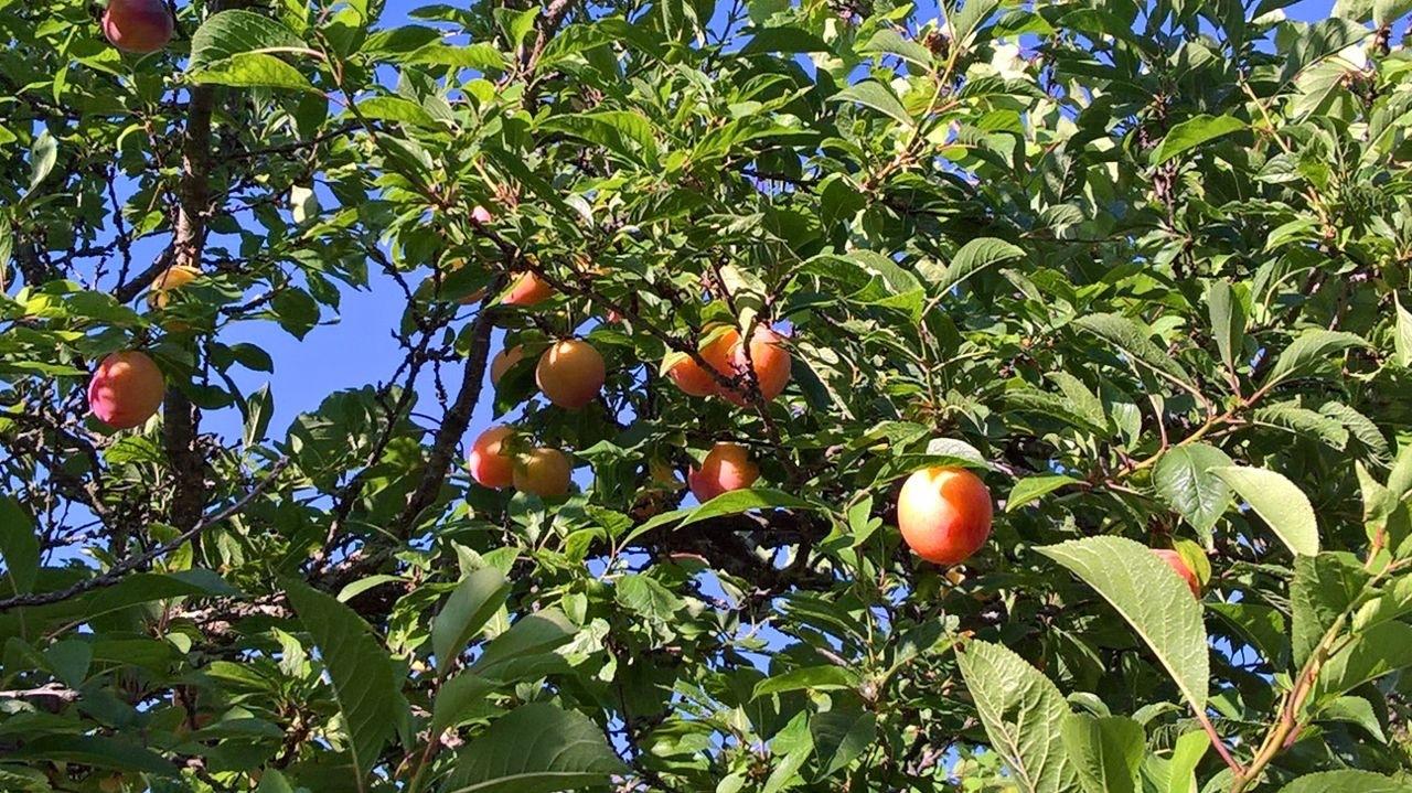アンズの木からもう一つの恵み_a0136671_03111921.jpg