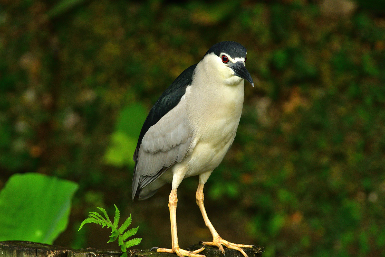 ゴイサギ 台湾:台北市探鳥紀 ㉔_e0362696_09242120.jpg