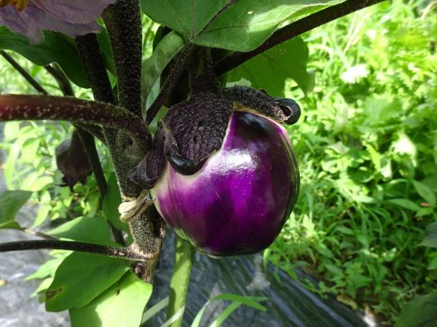 夏野菜色々 & 収穫 & 撤収_c0369304_21192633.jpg