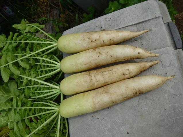 夏野菜色々 & 収穫 & 撤収_c0369304_21213474.jpg