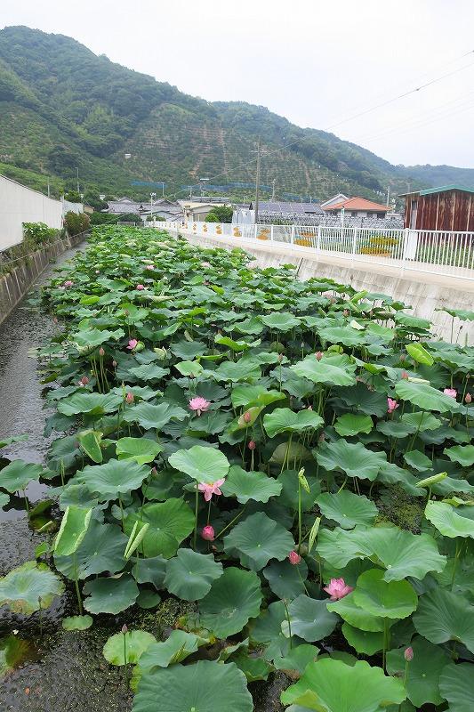 千田のハス池へ_b0133440_13165153.jpg