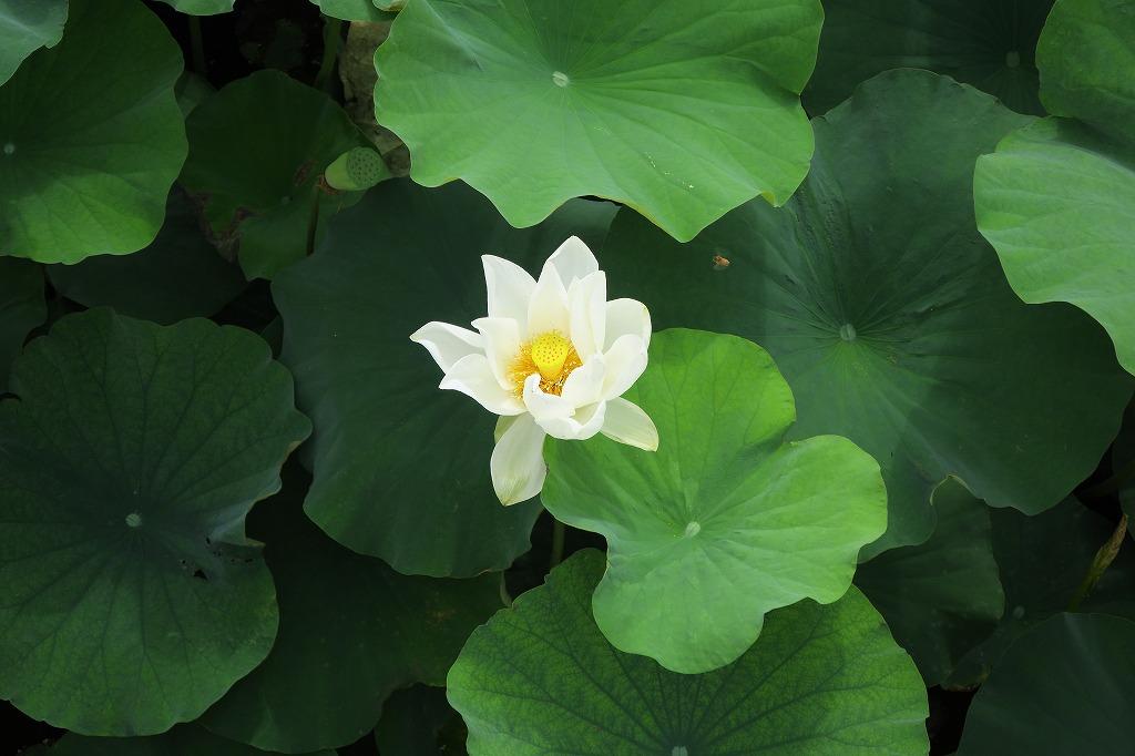千田のハス池へ_b0133440_13174325.jpg
