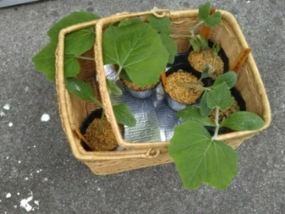 窓からいんげん豆収穫(自宅)、昨夕~カボチャ植え(南国畑)_c0330749_08233802.jpg