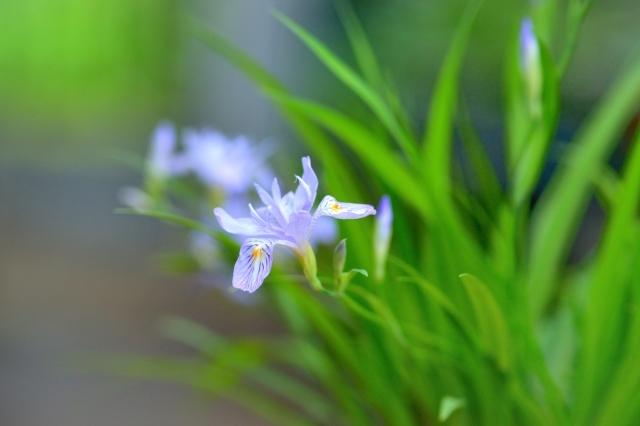 自宅の庭に咲いた花 ⑬_b0223668_08280829.jpg