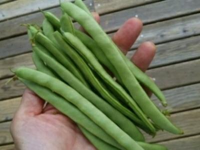 台風の前に収穫(いんげん豆)・・・今大粒の雨_c0330749_10464937.jpg