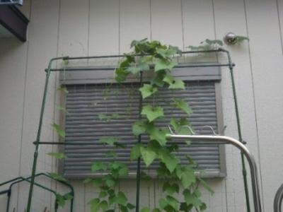 台風の前に収穫(いんげん豆)・・・今大粒の雨_c0330749_10465517.jpg