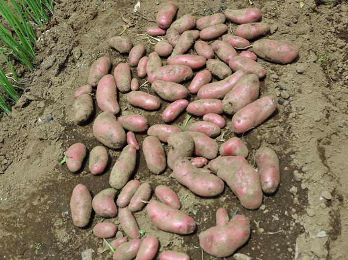 皮も中身も赤いジャガイモ・ノーザンルビー全収穫7・3_c0014967_1827133.jpg