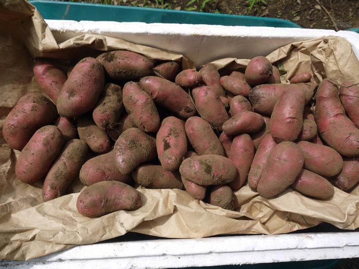 皮も中身も赤いジャガイモ・ノーザンルビー全収穫7・3_c0014967_18272213.jpg