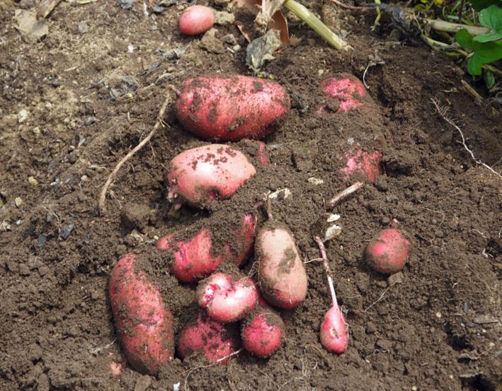 皮も中身も赤いジャガイモ・ノーザンルビー全収穫7・3_c0014967_18273265.jpg