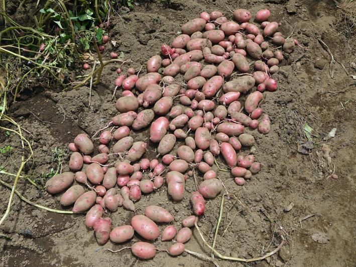 皮も中身も赤いジャガイモ・ノーザンルビー全収穫7・3_c0014967_18274215.jpg