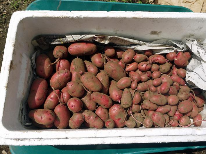 皮も中身も赤いジャガイモ・ノーザンルビー全収穫7・3_c0014967_18275064.jpg