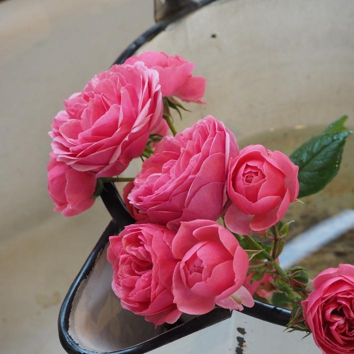 ポンポネッラも咲きました。_a0292194_20431978.jpg