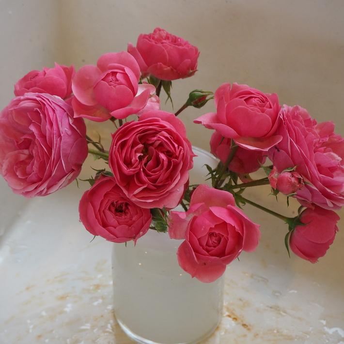 ポンポネッラも咲きました。_a0292194_20441844.jpg