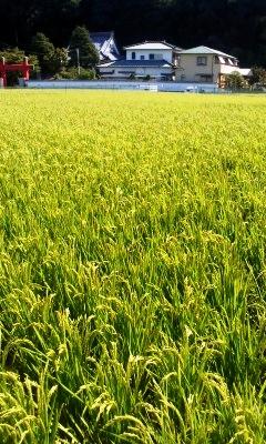 種子法の廃止で香川県としてどうする_d0136506_8562239.jpg