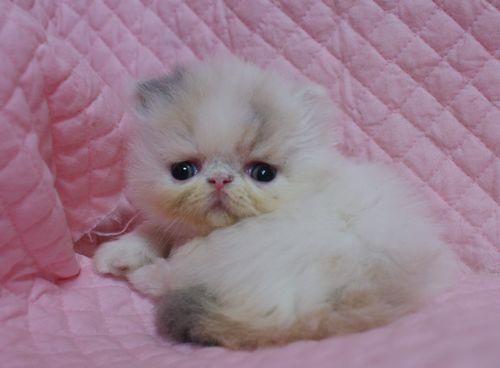 エキゾチックショートヘアー子猫家族募集 ブラック&ホワイト男の子_e0033609_03010681.jpg