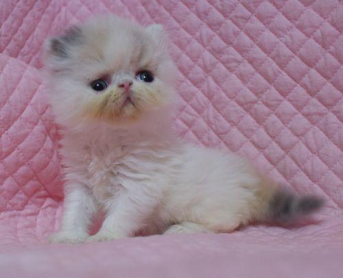エキゾチックショートヘアー子猫家族募集 ブラック&ホワイト男の子_e0033609_03011903.jpg
