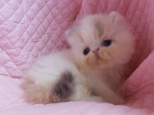 エキゾチックショートヘアー子猫家族募集 ブラック&ホワイト男の子_e0033609_03012467.jpg