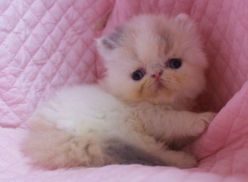 エキゾチックショートヘアー子猫家族募集 ブラック&ホワイト男の子_e0033609_03014126.jpg