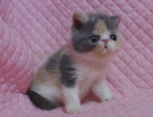 エキゾチックショートヘアー子猫家族募集 ブラック&ホワイト男の子_e0033609_03015099.jpg