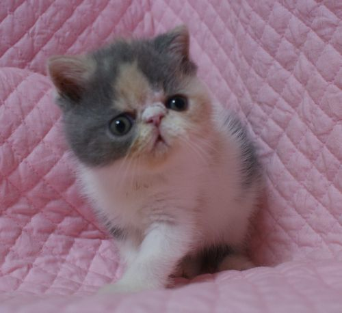 エキゾチックショートヘアー子猫家族募集 ブラック&ホワイト男の子_e0033609_03020238.jpg