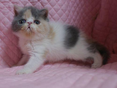 エキゾチックショートヘアー子猫家族募集 ブラック&ホワイト男の子_e0033609_03021235.jpg