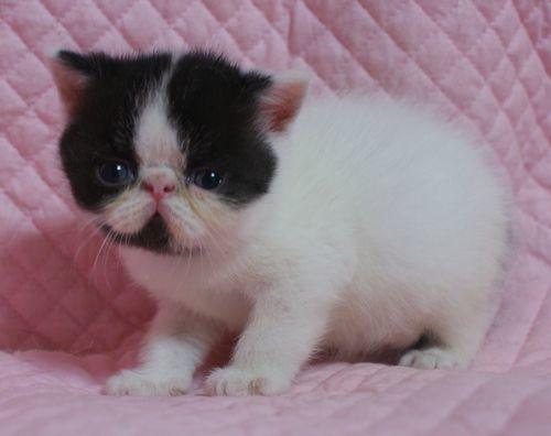 エキゾチックショートヘアー子猫家族募集 ブラック&ホワイト男の子_e0033609_03024973.jpg