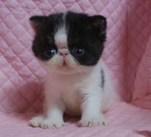 エキゾチックショートヘアー子猫家族募集 ブラック&ホワイト男の子_e0033609_03025503.jpg
