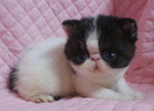 エキゾチックショートヘアー子猫家族募集 ブラック&ホワイト男の子_e0033609_03031727.jpg