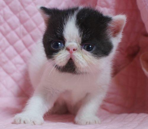 エキゾチックショートヘアー子猫家族募集 ブラック&ホワイト男の子_e0033609_03033093.jpg