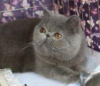 エキゾチックショートヘアー子猫家族募集 ブラック&ホワイト男の子_e0033609_03104039.jpg