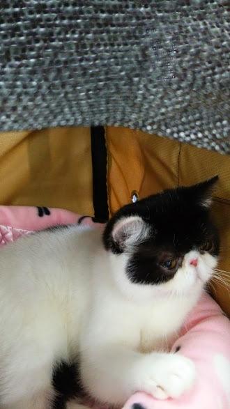 エキゾチックショートヘアー子猫家族募集 ブラック&ホワイト男の子_e0033609_03135072.jpg