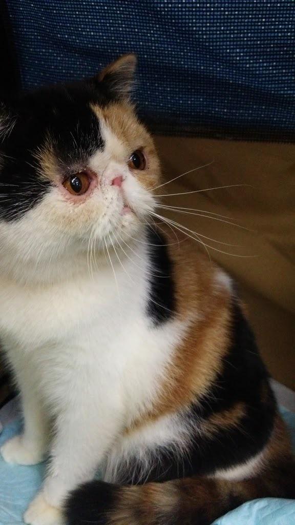 エキゾチックショートヘアー子猫家族募集 ブラック&ホワイト男の子_e0033609_03145270.jpg