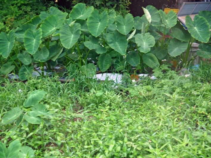 雑草に埋もれてしまっていた横浜市公田で借りている畑7・8_c0014967_2124533.jpg
