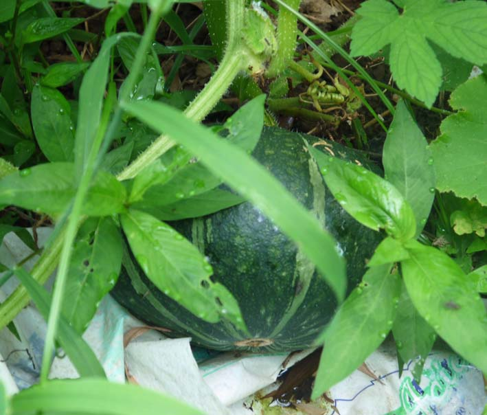 雑草に埋もれてしまっていた横浜市公田で借りている畑7・8_c0014967_21294256.jpg