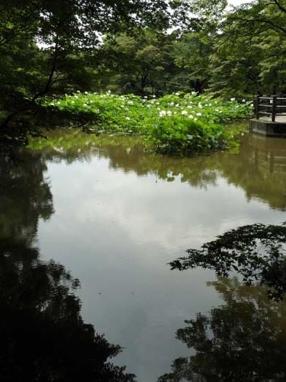 白蓮満開 植物園_e0048413_21322028.jpg