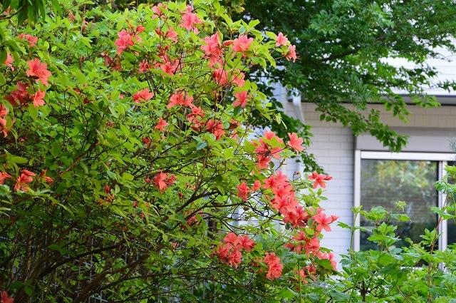 2ヵ月前の振り返り、5月1日の庭。_c0124100_17234392.jpg