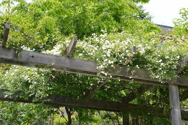 5月4日・11日の庭。_c0124100_18125534.jpg