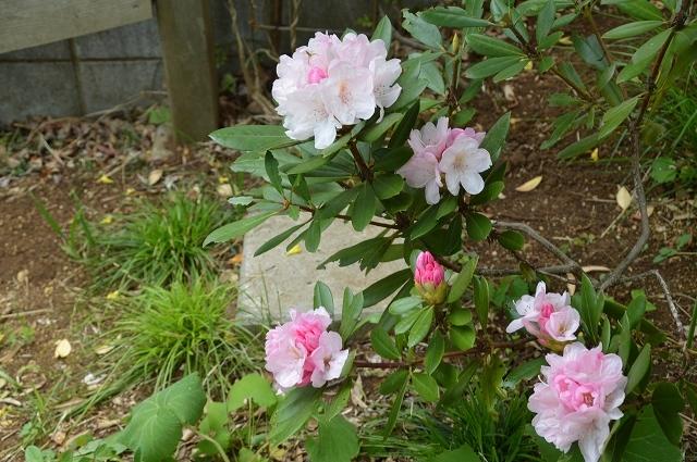 5月4日・11日の庭。_c0124100_18125990.jpg