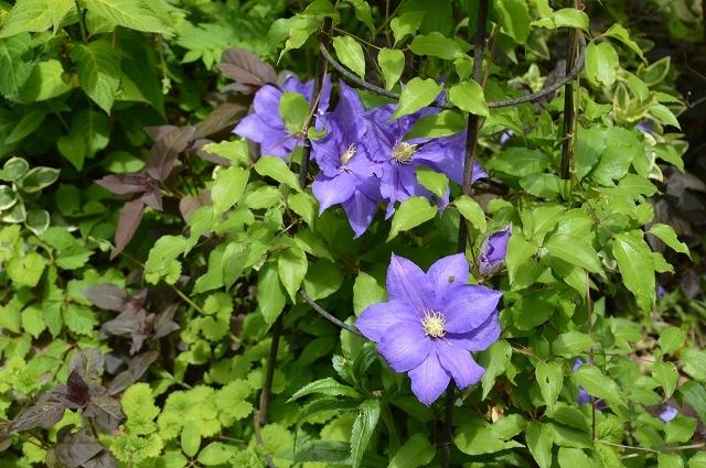 5月4日・11日の庭。_c0124100_18130275.jpg